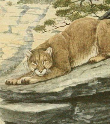 Image of mountain lion